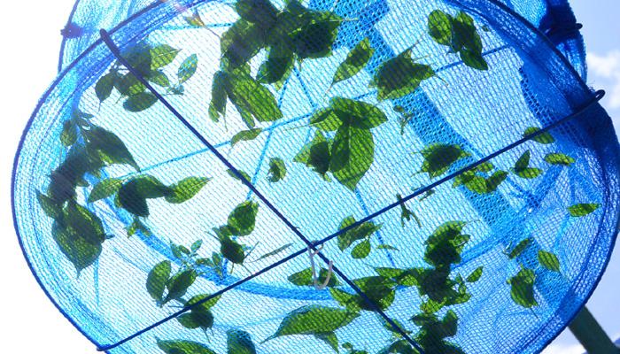 バジルに水分があるうちは、葉っぱの形状がわかり、色も緑色です。