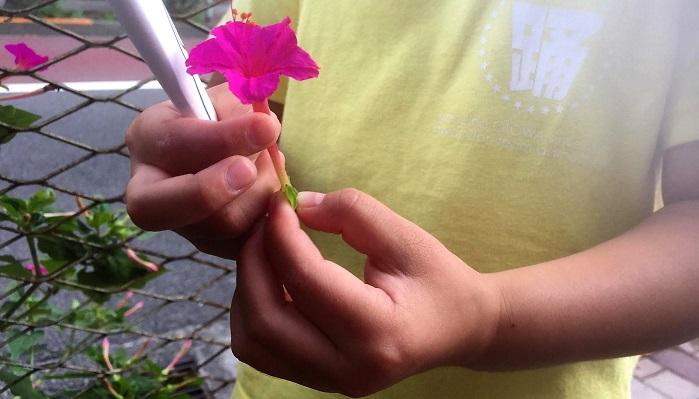 オシロイバナの花は夕方咲いて翌朝には枯れてしまいますが、新しい花がどんどん咲いていきます。咲いた花を使ってパラシュートを作ることができますよ。  花と言っていますが、実はオシロイバナの花のように見えるのはガクで、ガクに見える中に種がある部分は苞です。