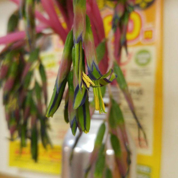 ビルベルギア・ヌタンスと思われる花です。お店に切り花として飾られていたものを撮影させていただきました。