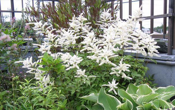 アスチルベは日本にも自生している山野草で、白やピンクの縦に伸びた花穂が風にゆらゆらと揺れる可愛いお花です。日本に自生しているだけあって寒さにも比較的強く、育てやすい植物になります。