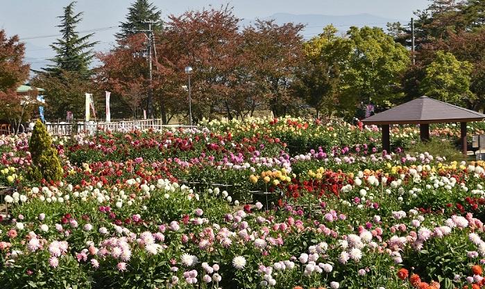 川西ダリヤ園は4ヘクタールの敷地に650種、10万本のダリアの花が咲き誇る日本最大級のダリア園です。