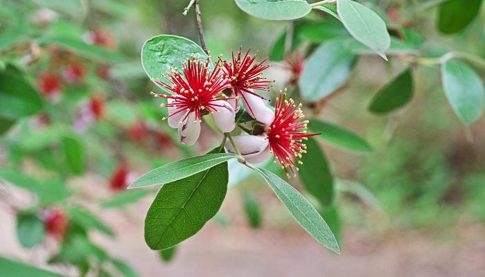 フェイジョアは近年人気の出てきている果樹です。花もフトモモ科の良さが出ている花で、自家受粉ではないので2本以上必要ですが、実も楽しむことができます。更に葉も肉厚で立体感があり、シルバーがかっているため人気です。仕立て方で樹形をある程度自由にできますし、塩害にも強いため沿岸部などでの生育も可能です。木はマイナス7度まで耐寒性があるので寒冷地でも育ちますが、実をならせるためには暖地のほうが向いています。