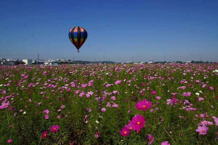 画像提供:吉見町役場  休耕田(麦あと)を利用した広大な農地に広がるコスモスも今年で17回目になります。吉見町の秋の風物詩をお楽しみください。コスモス摘み取り(有料)、枝豆狩り(有料)、気球体験(有料)、かかしの展示、赤飯、おまんじゅうなどの農産物加工品の他、模擬店が出店予定です。