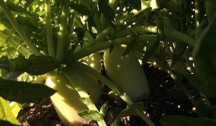 「9月からの栽培は大根がおすすめ」って?大根を一度も育てたことがない方にとっては、ピンとこない言葉かもしれませんがおすすめするには3つの理由があるんです。  1. 9月は大根の種まき適期だからおすすめ 9月は大根の種まき適期です(主に関東温暖地)。品種や地域にもよりますが、この時期に栽培をスタートすることで良好に生育した大根の収穫が可能になります。  この時期に種をまいたかどうかで今後の大根の生育に差がどうしても出てしまうので、今がチャンスだと思って大根の栽培をスタートさせましょう。
