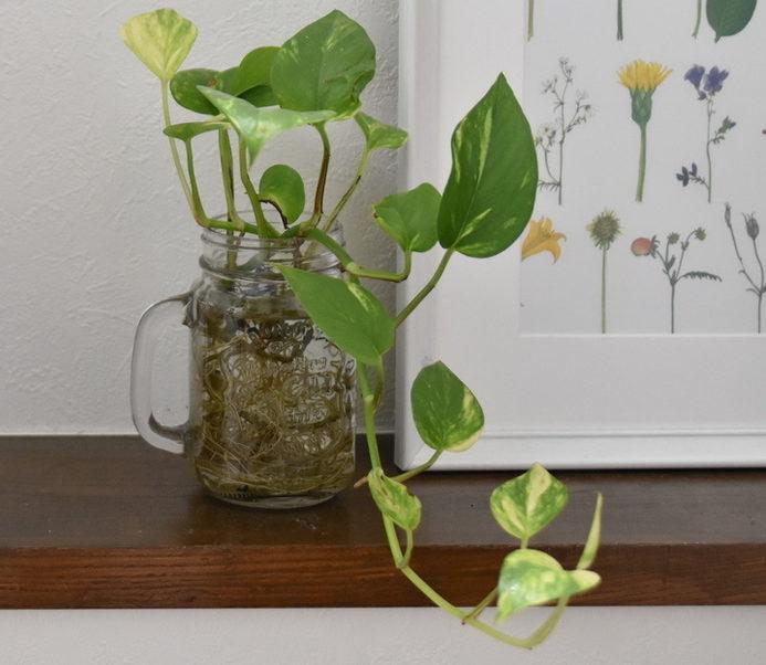 ポトスは初心者でも育てやすく、様々な品種があるため葉色を選んでコーディネートもしやすいです。吊り下げるスペースがあれば吊り下げてもいいかもしれません。ポトスは垂れ下がるイメージのある植物ですが、登坂する性質を持っているため、支柱を立てておくと上に向かって誘引することができます。時間はかかりますが、そうして大鉢に仕立てることも可能です。
