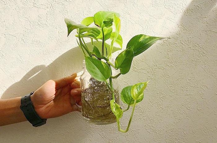明るいグリーンや斑入りの葉が部屋を彩ります。水挿ししてキッチンやトイレの窓辺にも良いでしょう。