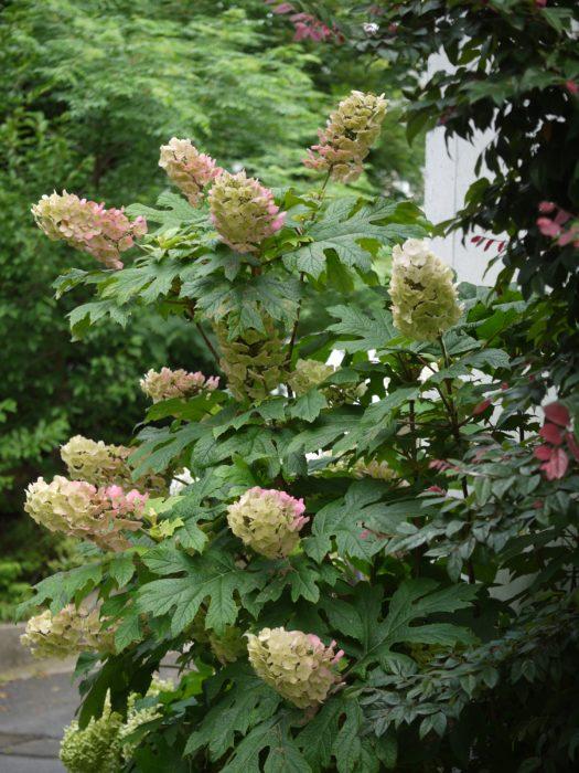 葉と花の形が面白い薄ピンクがかったアシワバアジサイ。