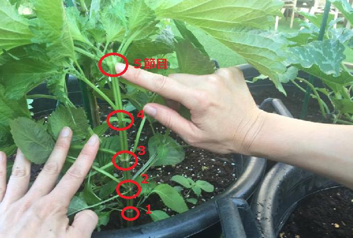 葉菜類とハーブ類は(植物の性質や育ち方にもよります)、主に3~5節目くらいで主枝を摘芯します。