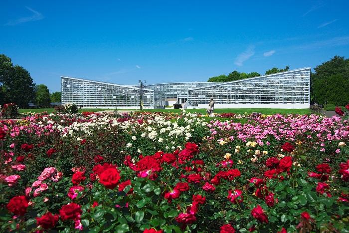 画像提供:神代植物公園    ▼また、大温室を前にしたバラ園では約400品種・5,200株のバラが栽培されています。これは東京でもトップレベルの規模。春・秋のバラの時期にはイベントが開催され、多くの人でにぎわいます。