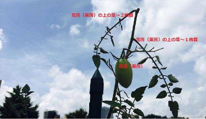 果房(かぼう)からみて2枚の葉を残し、その上の主枝を摘芯します。