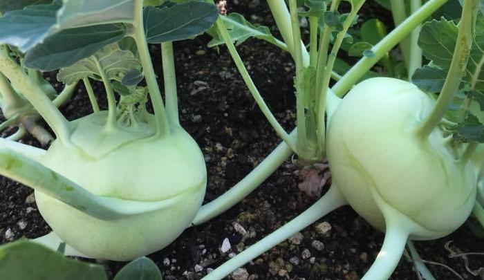 コールラビは、丸くコロンとした形が可愛らしい、ヨーロッパでキッチンガーデンによく植えられるとても人気のある野菜で、さきほどのロマネスコ同様に、アブラナ科アブラナ属の仲間です。コールラビの茎の部分が肥大化することにより、その部分を食べることができます。  ドイツ語で「コール」はキャベツ、「ラビ」はカブを示すことからも分かるように、カブのような食感です。コールラビを生で食べると、ブロッコリーやキャベツの芯よりも甘く瑞々しい、まるでリンゴのような爽やかな甘みに驚くほどです。なかなかお店で見かけないため、ぜひ育てて食べて欲しい野菜です。