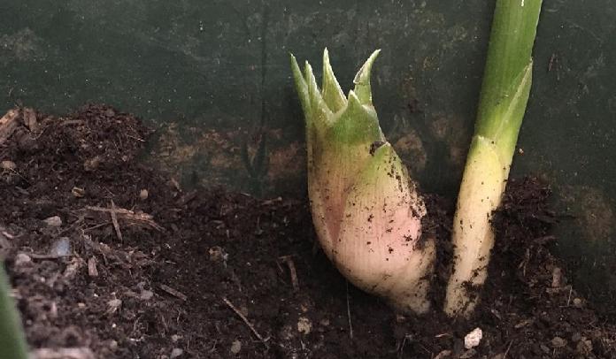 「ハナミョウガ」の収穫の始まりです。今年は1年目ですのでそれほどたくさんは採れないと思いますが、月に1度の追肥をして株を元気に育てましょう。  収穫するタイミングは、必ず花が咲く前の蕾の時期に収穫しましょう。花が咲いてしまったら1日で萎れてしまいます。食べきれなくても早めに収穫して、冷蔵庫で保管しておいた方が美味しくいただけます。