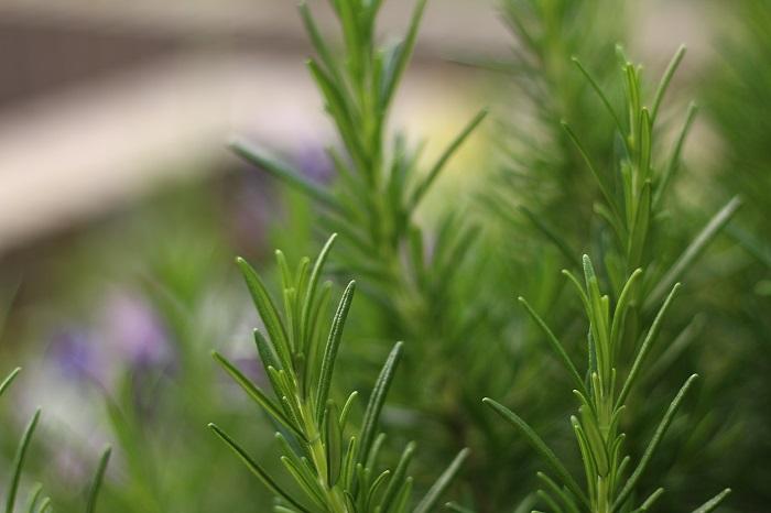 ローズマリー 科名:シソ科  学名:Rosmarinus officinalis  英名:rosemary  分類:常緑低木  原産地:地中海沿岸  花期:4~11月(気候が良ければ四季咲き)