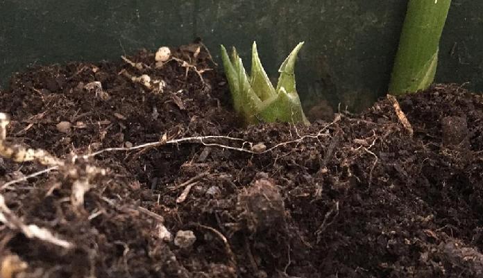 植え付け後1~2年目から収穫出来るようになります。 花みょうがは株の周りに次々とでてきます。