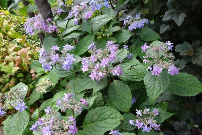 落ち着いて繊細感のある紫の八重咲アジサイ。