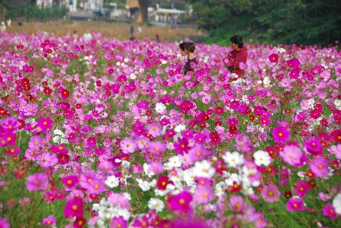 画像提供:くりはま花の国  くりはま花の国は横須賀にあるお花の公園です。敷地は広大で関東有数の規模のハーブ園・パークゴルフ場・バーベキュー広場・足湯などたくさんの施設があります。毎年コスモスの季節にはコスモスまつりが開催され、人気のセンセーションだけでなくレモンブライトやイエローキャンパスといった黄色の花色が美しい品種を見ることもできます。