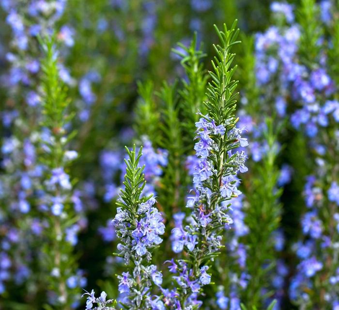 ローズマリーは地中海沿岸の植物です。強い日差しと海からくる強風が特徴の地中海性気候が肌馴染みのいい植物です。日本の夏の直射日光や強い風などにも耐性があります。  日当たり良く乾燥した場所を好みます。痩せ地でもよく育ちます。過度な肥料と多湿を嫌います。乾燥気味で管理しましょう。地植えであれば特に追肥の必要はありません。鉢植えで管理している場合は、土が痩せたら土壌改良剤などで補ってあげるとよいでしょう。
