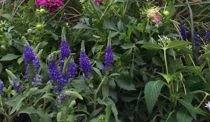 せっかく咲いた花が、咲いたそばから食べられてしまい、美しい形がガタガタにされてしまいます。  (主な害虫~アブラムシ、ヨトウムシ、ナメクジなど)