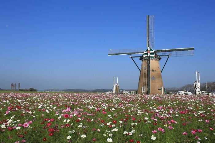 画像提供:佐倉市  春のチューリップフェスタ・夏の風車のひまわりガーデンと、季節の花を楽しませてくれる千葉県佐倉市のふるさと広場。秋は50万本のコスモスが風車とともに迎えてくれます。コスモスフェスタ期間中は、毎日コスモスの摘み取りができます(有料)。