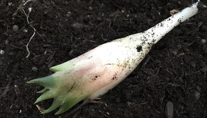 花穂は手で折って収穫ができます。 開花してしまうと風味が落ちてしまうので、できるだけ早めに収穫しましょう。  また、植え付け後2~3年目の新芽を遮光して軟白させて育てると、高級食材のみょうがだけができあがります。遮光期間2~3週間位の草丈が20cm頃切り取って収穫します。