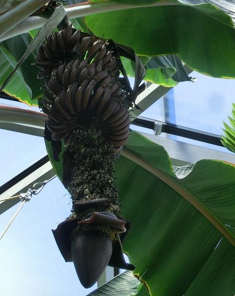 画像提供:新宿御苑    ▼とても渋い色合いの赤バナナ。