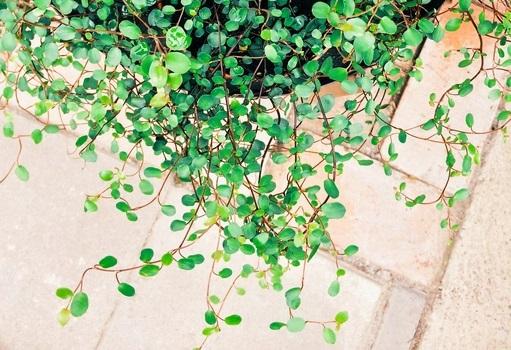 ワイヤープランツは、茎の部分が針金に見えることからワイヤープランツと呼ばれています。日当たりは半日陰を好み、風通しのいいところで管理。土の乾燥には気をつけて、乾いたらたっぷりお水をあたえましょう。乾燥すると葉がぽろぽろと落ちてきてしまいますので気を付けましょう。