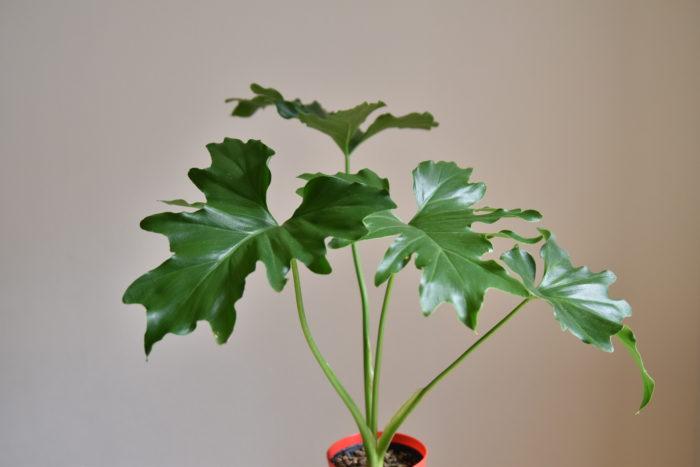 セロームはモンステラと同じくサトイモ科に分類されている観葉植物で、葉の縁が波打っているのが特徴です。  大きな葉を展開させるのが特徴で、モンステラの様に茎を横に長く伸ばさないため飾りやすいと思います。  葉が印象的なので、カラフルなテラコッタの鉢などに植え込んでも映えそうですね。