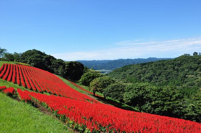 画像提供:マザー牧場  マザー牧場は、千葉県富津市にある牧場です。「牧場」ときくと動物と触れ合うスポットのように感じますが、マザー牧場では春の菜の花・夏のペチュニアやあじさい・秋のコスモスなど四季折々のお花を見ることができます。またいちご狩り・ブルーベリー摘み・さつまいも堀りなどの味覚狩りも体験できます。