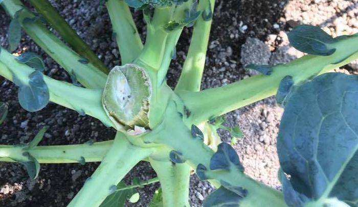 頂花蕾(ちょうからい)の収穫  緑色の濃いつぼみの頃に収穫します。花蕾が15cmくらいになったら花の10cm下をナイフ、もしくはハサミで切ります。切り口は太陽の方向を向け、できるだけ雨水を貯めないような工夫をしましょう。