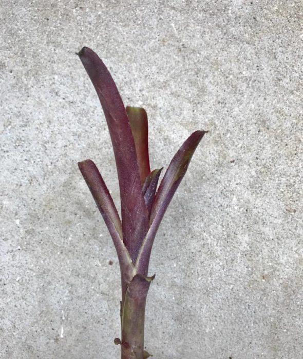 ナナは「小型の」という意味で、その名の通り丈が15cm程度の小型のビルベルギアになります。強めの日光に当てるとワインレッドのような深みのある赤色に染まる美しい品種です。