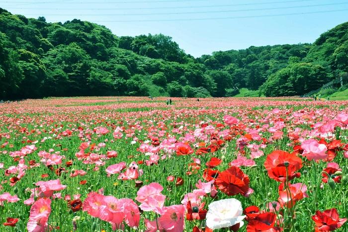 画像提供:くりはま花の国  春にはポピーまつりも開催。100万本のポピーとネモフィラの花が咲き、コスモスまつり同様に無料花摘み大会などのイベントを楽しむことができます。