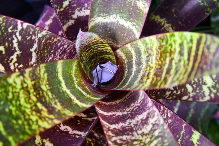 タンクブロメリアは中心部分と葉と葉の間に水を溜めることが出来るブロメリア科(パイナップル科)の植物のことを言います。  原産地は中南米で雲霧林やジャングル、岩場などに自生しています。種類も豊富で近年人気が出てきております。ビザールプランツ(珍奇植物)の一種として紹介されることもあります。  昔から夏になると赤や黄色の綺麗な花(花苞)を咲かせるグズマニアもタンクブロメリアの一種になります。  グズマニアの様にどのタンクブロメリアも美しい花を咲かせます。  タンクブロメリアは大きさの幅が広く、十数cmしかないものや1mを軽く超える超大型種まであります。  超大型のタンクブロメリアはアルカンタレア属やプセウドアルカンタレア属などがあります。これらは皇帝アナナスとも呼ばれており、非常に巨大化するタンクブロメリアになります。  実はプセウドアルカンタレアは2016年10月に発行された論文により新設された属で、今までティランジア属(エアプランツ)に分類されていた大型種のティランジア・グランディスがプセウドアルカンタレア属に異動したりと、現在タンクブロメリアを始めとしたブロメリア界隈が混沌と化しています。  そのため、お店によって表記が違っていたり、書籍によって違うといった場面に遭遇するかもしれませんが、種小名は極一部以外変化していませんし、育て方などの管理方法は変わりませんので安心してください。  ※この記事でも一部タンクブロメリアを新分類に合わせて表記しています。