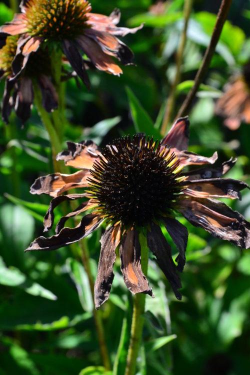 終った花は、花だけでなく茎の部分も一緒に剪定すると株がきれいな姿を保ちます。終った花はそのままにしておくと、病気の発生源になったりするので、早めに取り去りましょう。
