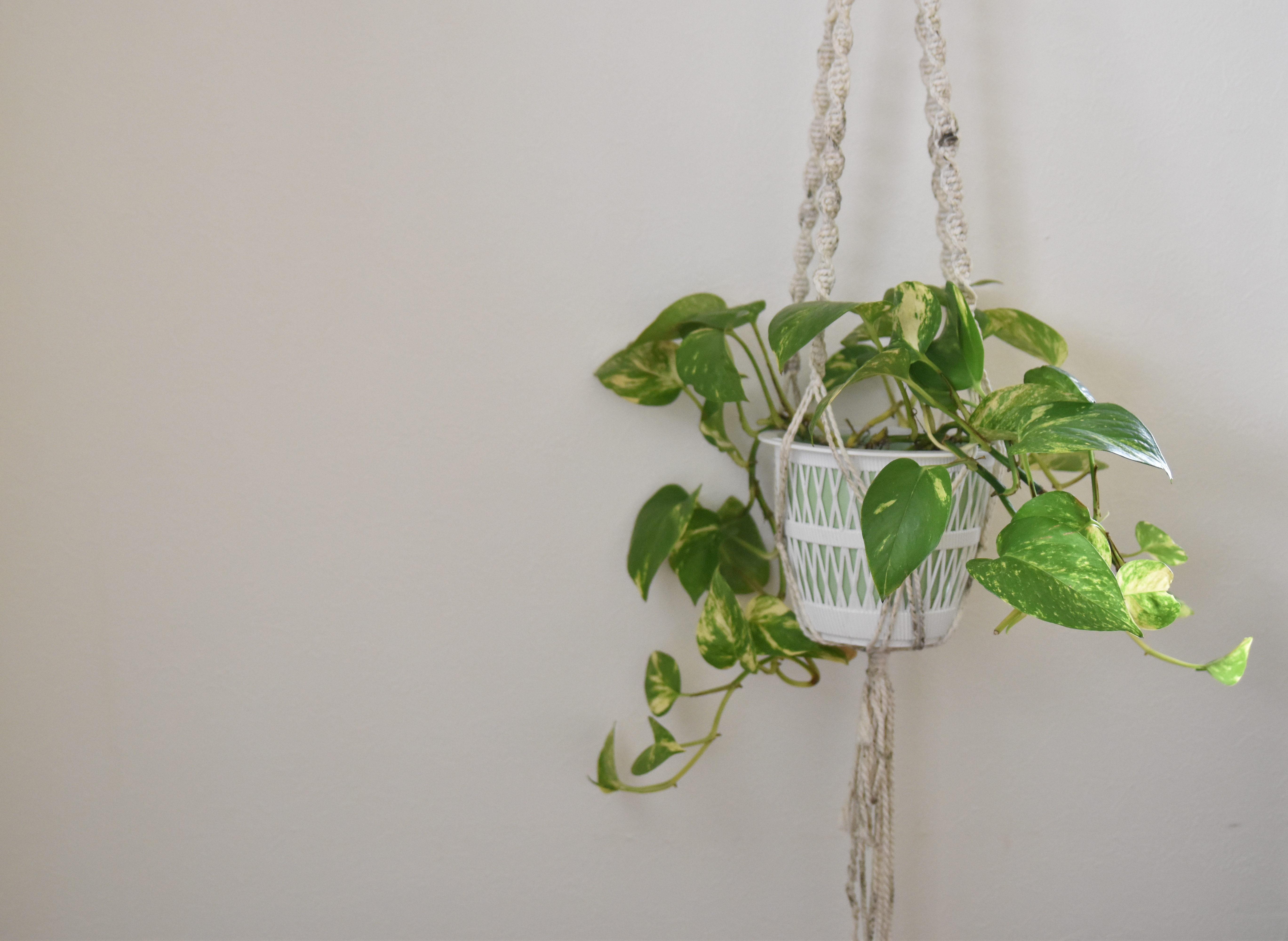 マクラメなどで鉢ごとポトスを吊るす飾り方もあります。置いて飾ると鉢などが見えにくくなってしまいますが、このように吊るせば鉢も見やすいですね!  お気に入りの鉢にいれて鉢も一緒に楽しんだり、透明な鉢に入れて根の張りを見せるなどしてみてはいかがでしょうか?  また、マクラメの編み方でも雰囲気がグッと変わってくるので、いろいろなプラントハンガーを試して使ってみるのも面白いのではないでしょうか。  マクラメなどで吊るす場合は鉢が落ちてこないようにしっかりと固定してください。水やり直後の鉢は土が水を吸収して重くなっているので注意が必要です。