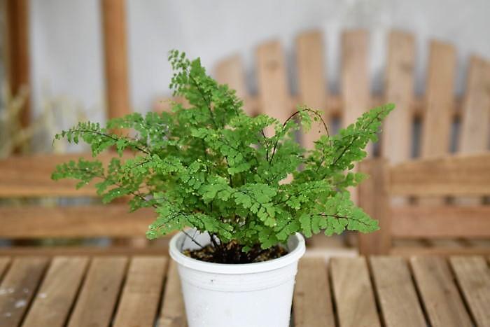 アジアンタムは湿度が高い環境を好み、耐陰性も高いのでバスルームに適した植物です。乾燥して水分が足りていない場合は葉がチリチリしてしまうので、土が乾いていれば水をしっかりあげるようにしましょう。