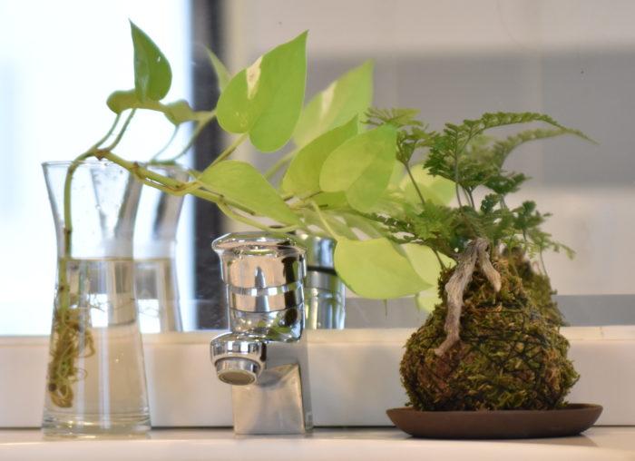 ポトスなどを水耕栽培で飾ると水の交換も楽ですよ♪  また、水耕栽培の方が鉢植えよりもコンパクトに仕立てることが出来るのでスッキリとした印象になると思います。ハイドロカルチャーなども土で洗面台を汚すことがないのでおすすめです。