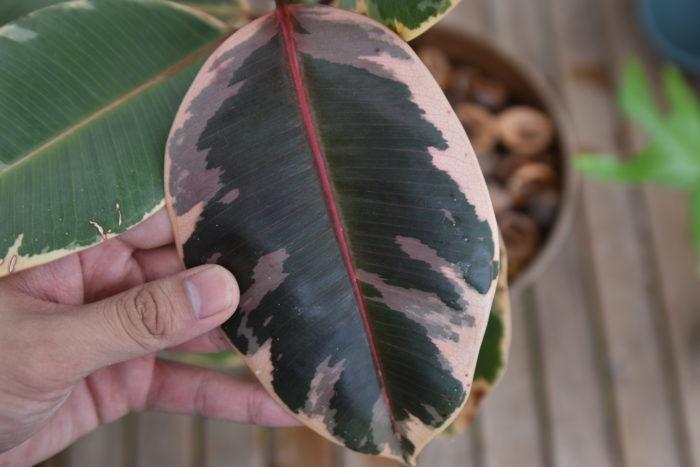 園芸品種が多数あり、斑入りのゴムの木などは日光によく当てると赤く色づき非常に綺麗です。