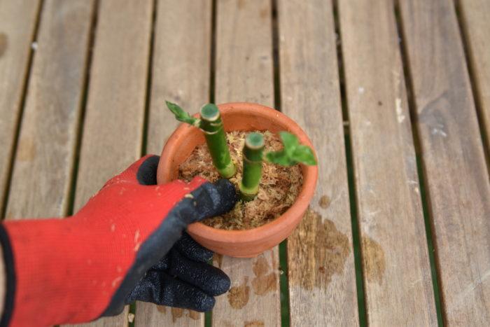上から指でミズゴケを押します!  とにかく思いっきり押して余分な水を絞り出してください!
