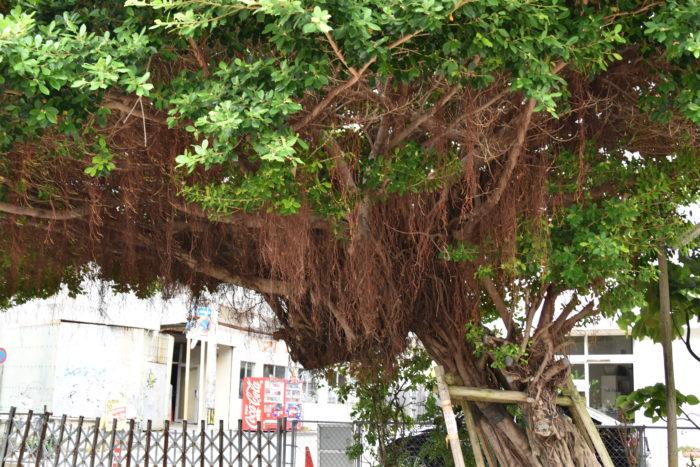 ガジュマルの魅力は何と言っても気根で、挿し木によって増やされたものよりも実生で増やされたものの方が気根が出やすいといわれています。  また、沖縄ではキジムナーと呼ばれる火の精霊が住み着くと言われ、大事にされています。