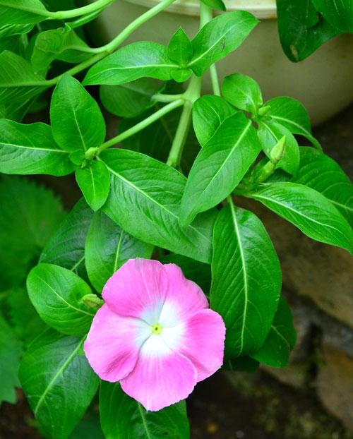 日々草(ニチニチソウ)は、茎が全体的に伸びすぎて姿が乱れてきたら切り戻しをします。定期的に切り戻しをすると、切った部分から脇芽が出て、きれいな姿を保ちます。この切り戻しを夏まで繰り返すと、たくさんの花がついた、姿のよい日々草(ニチニチソウ)に生長します。