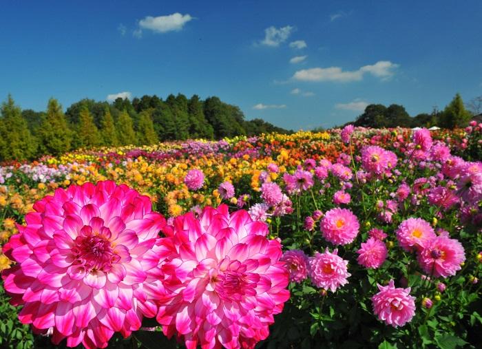 世羅高原農場は春のチューリップや夏のヒマワリなど四季折々のお花が楽しめるスポットです。敷地は広大で、お花のスポットとしては西日本でも有数の規模。秋のダリア祭では、450品種もの色とりどりのダリアを見ることができます。