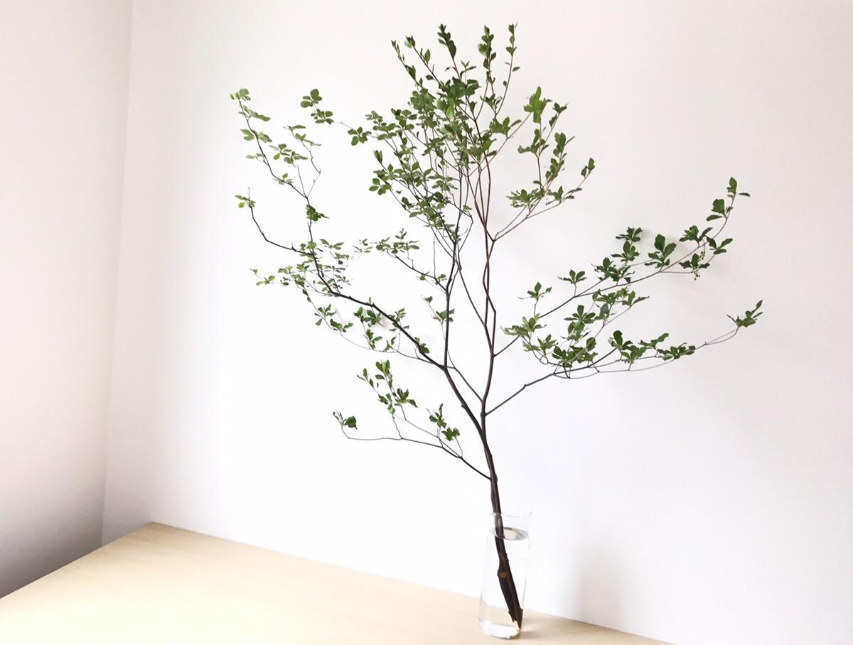 植栽でも使われるツツジ科の樹木、ドウダンツツジ ドウダンツツジは公園や庭などの植栽でも使われている葉がかわいらしい姿の植物です。花屋さんで並ぶ枝物としても人気があり、春から夏頃にかけて出回ります。大きなドウダンツツジを店舗のディスプレイとして使ったり、大きな空間の装飾にも多用されています。