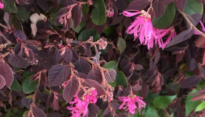 写真はベニバナトキワマンサク。花弁がくるくるとまるまって収納されています。細かい起毛のある銅葉と茎が特徴。トキワマンサクはクリーム色の花で、葉が緑の植物です。