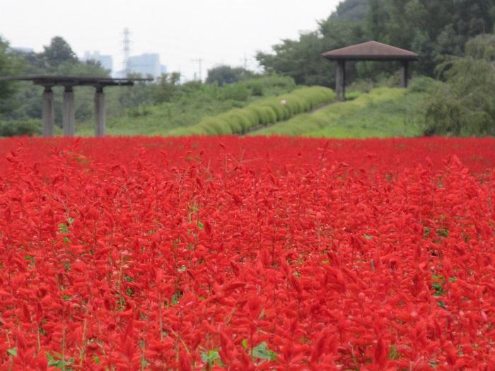 画像提供:大宮花の丘農林公苑  埼玉県さいたま市西区にある大宮花の丘農林公苑では、約33,000株のサルビアが咲きます。品種は赤い花色のボンファイアー、濃い青色のブルーサルビアの2種類。7月~10月末まで楽しむことができます。