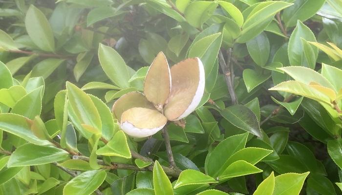 バナナのような香りの花を咲かせる常緑樹です。神社などに植えられていることが多い木です。葉の密度が濃いので、目隠しとしても優秀です。4,5月に花が咲いたら、なるべく早めに剪定を行いましょう。自然に伸びても樹形がそんなに乱れないので、管理はしやすい木です。植え替えを嫌うので、植える場所は慎重に選びましょう。日当たりのいい場所から半日陰で育ちますが、暖かい地方の木なので寒冷地での生育はできません。病害虫はあまり発生しませんが、まれにカイガラムシがつくことがあります。カイガラムシの排泄物からすす病にかかることもありますので、剪定は適度に必要です。