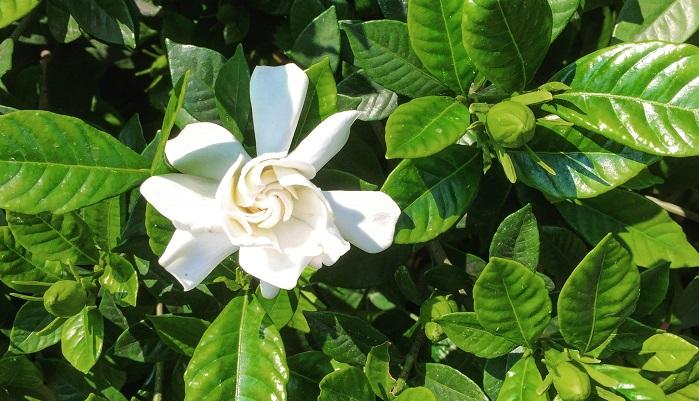 クチナシは香りのよい落葉低木で、香りのよい花(沈丁花と同じく日本三大香木の一つ)が特徴です。開花時期は6~7月です。写真は八重咲のオオヤエクチナシで、ガーデニアと呼ばれる庭木に使われることが多い園芸品種です。6枚の花弁からなる一重のクチナシが基本種で、花は小ぶりです。クチナシの病害虫としてオオスカシバがいます。オオスカシバはハチドリのようにホバリングする蝶目の蛾で、クチナシの葉にキャビアの色を薄くしたような卵を一つずつ産み付けます。幼虫はとにかく大食いで、あっという間に葉が丸坊主になってしまいますので見つけたら必ず補殺をしておきましょう。新芽から花芽まで食害されてしまい、開花も生長も止まってしまうので注意が必要です。病気ではすす病、褐色円星病などにかかかることがあります。葉が黒く汚れたようになったり、斑点のように黒くなるなどの症状が出る病気になる場合があります。直射日光は苦手なので半日陰の場所が適していますが、反面多湿も苦手ですが乾燥も苦手なので、適した場所でない場合樹勢が落ちてしまう場合がありますので植え付ける場所は注意が必要です。クチナシはいつの時期でも花芽がある状態なので、花を楽しみたい場合は剪定は込み合った枝を落としたりする程度で大丈夫です。最初の花芽が開花したころに剪定を行うと、影響が少なくて済みます。
