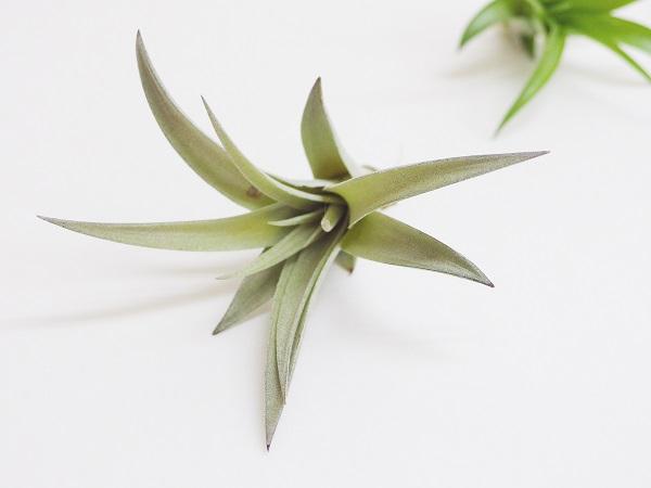 銀色に輝く葉が美しいハリシーは人気が高く、また強健なため初心者の方にもおすすめなエアプランツです。  普及種ではあるものの、ワシントン条約付属書Ⅱ(CITESⅡ)に登録されている品種で、自然下ではほぼ絶滅状態にまで追いやられています。  美しく作り上げられたハリシーは非常に美しく、自分の腕を試すのにもってこいではないでしょうか。また、花も非常に美しく、赤く大きな花苞に濃い紫色の花が咲く姿は見事です。