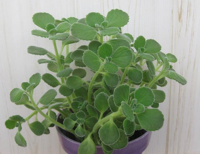 アロマティカスは、シソ科の非耐寒性多年草です。丸くて多肉質ののぷにぷにした葉を持ち、葉を触るとミントを香水にしたような爽やかな香りがする植物です。料理やハーブティーに使うこともできます。