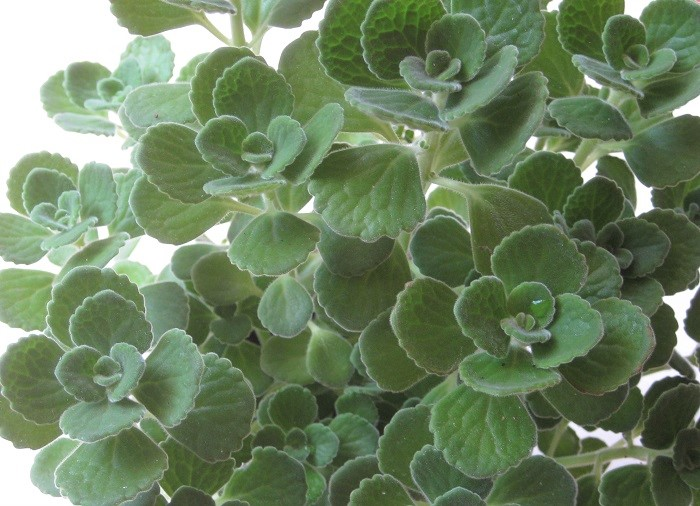 アロマティカスは丈夫で育てやすいので、初心者にもおすすめの植物です。  育てる時に大切なポイントは、4つです。ぜひ、このポイントに気を付けてアロマティカスを育ててお楽しみ下さい。  1. 日当たりと風通しの良い場所に置きます。  2. 寒い季節になる前に、室内の明るい窓辺に移動させましょう。  3. 水や肥料のあげすぎに注意します。  4. 気軽に挿し芽で増やして楽しみましょう。