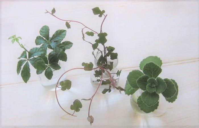 剪定したアロマティカスは、インテリアグリーンとして水に挿して飾って楽しみましょう。生花として洗面台やキッチンにちょこっと飾ると、見た目にも香りにも癒されます。